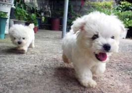puppies for sale picture 1